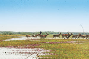 Kafue Lechwe on the flood plains